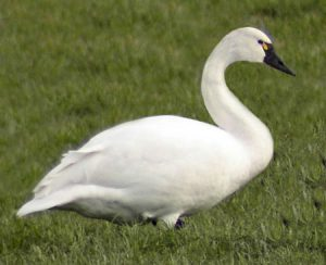the Tundra Swan